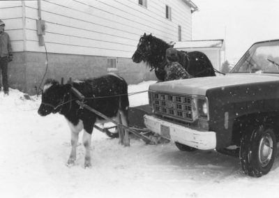 Tor Bay Acadien Society - Tommy Fougere's ox and Joe McGirr's horse ready for passengers